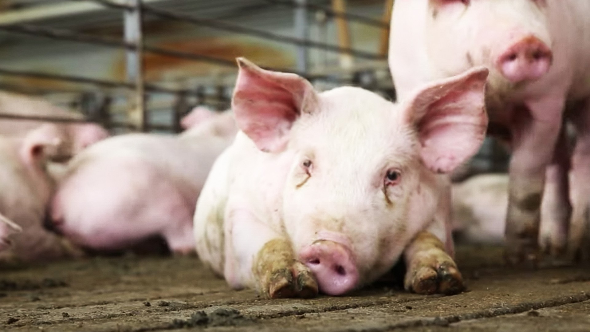 , Coronavirus Is Forcing Farmers to Give Their Pigs Away on Craigslist — And Even Euthanize Them, Saubio Making Wealth