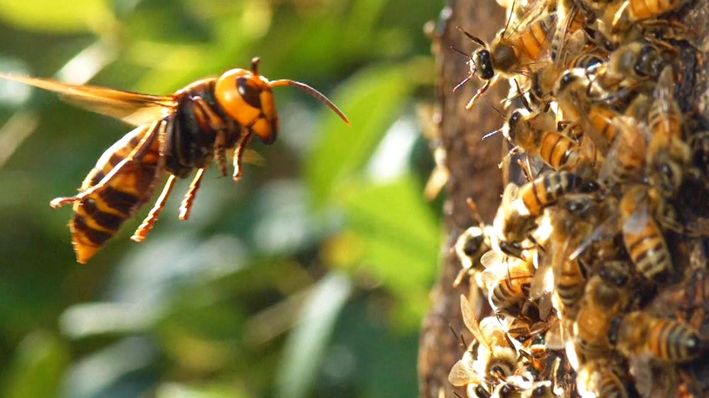 , Watch a 'Murder Hornet' Destroy an Entire Honeybee Hive, Saubio Making Wealth