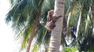 , Supermarkets snub coconut goods picked by monkeys, Saubio Making Wealth
