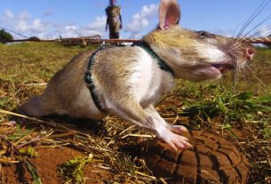 , Giant Rats Are Sniffing Out Landmines and Tuberculosis, Saubio Making Wealth