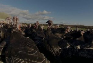, Smaller turkeys on the menu this Christmas, Saubio Making Wealth