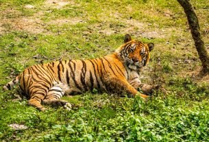 , A Tiger Allegedly Joined a High-Speed Chase and Is Still Missing, Saubio Making Wealth