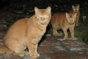 , Hawaii Is Culling Feral Cats — To Save Its Endangered Birds, Saubio Making Wealth