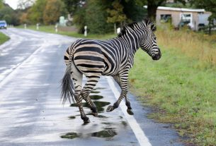 , The Maryland Zebras Refuse to Give Up on Freedom, Saubio Making Wealth